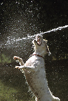 Jack Russell Terrier and Water from Hose