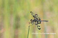 06580-00211 Banded Pennant (Celithemis fasciata) male Washinton Co. MO