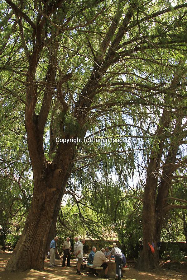 Israel, Upper Galilee, Pond Cypress trees at the Golden Park in Kiryat Shmona