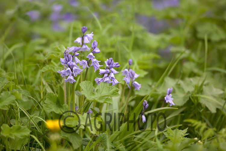 .Bluebells Growing In Woodland