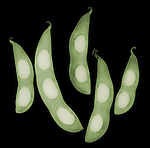 X-ray image of five soybean fruit pods (color on black) by Jim Wehtje, specialist in x-ray art and design images.