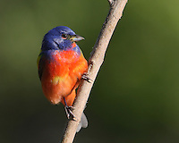 Painted Bunting male in spring, first year plumage.