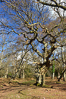 Ancient Oak, Matley Wood, New Forest National Park near Lyndhurst, Hampshire