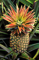 Close up of pineapple plant on island of oahu