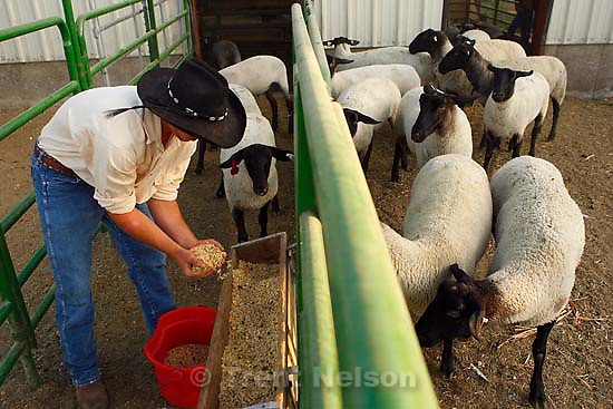 Farmington -  Jesse Petersen feeding lambs. For the Sept. 5 food section about the Junior livestock market program at the Utah State Fair. Buying an animal that has been raised by a local youth is a good way for people to buy local food and to fill their freezer with quality beef, lamb or pork at a reasonable price. Please meet Kathy at Kelly Maxfield's house in Farmington. His 10-year-old son Bryan, plus a few other kids from their 4-H group will be there feeding their animals that will be auctioned at this year's Utah State Fair.