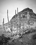 Organ Pipe Cactus - Stenocereus thurberi, Organ Pipe Cactus National Monument, Arizona