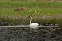 Trumpeter swan swimming in a wilderness lake
