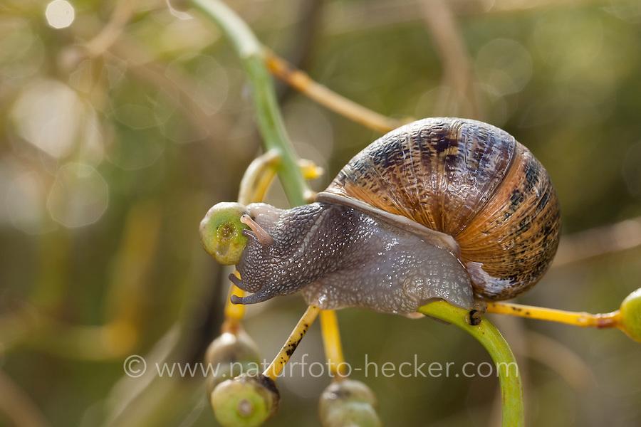 Gefleckte Weinbergschnecke, Cornu aspersum, Helix aspersa, Cryptomphalus aspersus, Cantareus aspersus, garden snail