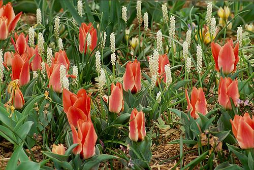 """Tulipa Kaufmanniana, """"Ancilla"""" and white Muscari grape Hyacinths, April, Missouri"""