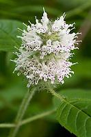 Hairy Woodmint (Blephilia hirsuta). Mount Gilead State Park, Ohio, USA.