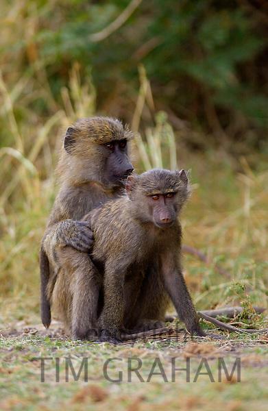 Olive Baboons mating, Grumeti, Tanzania