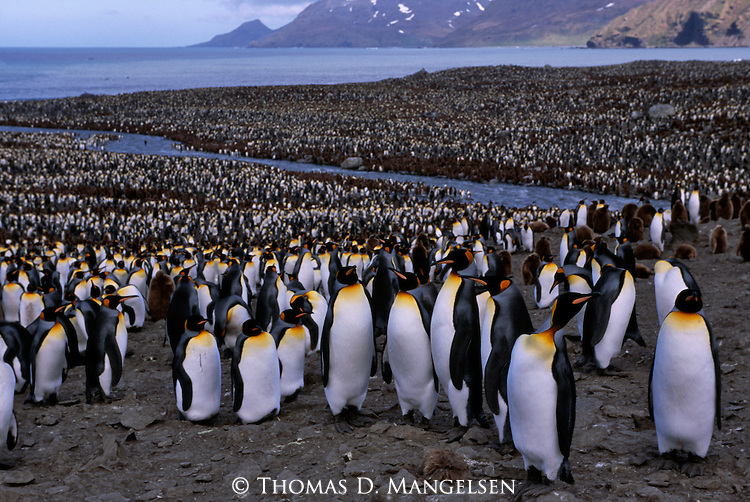 A king penguin colony on South Georgia.