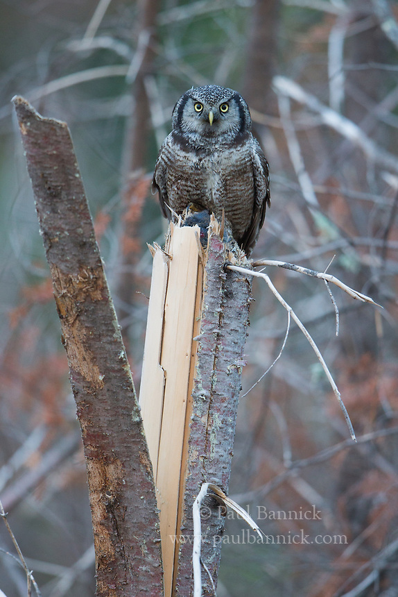 A Northern Hawk Owl visits a cache in the top of the tree to retreive a vole to feed to its young.