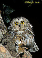 OW03-095z  Saw-whet owl - with mouse prey - Aegolius acadicus