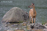 0623-1002  Northern (Woodland) White-tailed Deer, Odocoileus virginianus borealis  © David Kuhn/Dwight Kuhn Photography