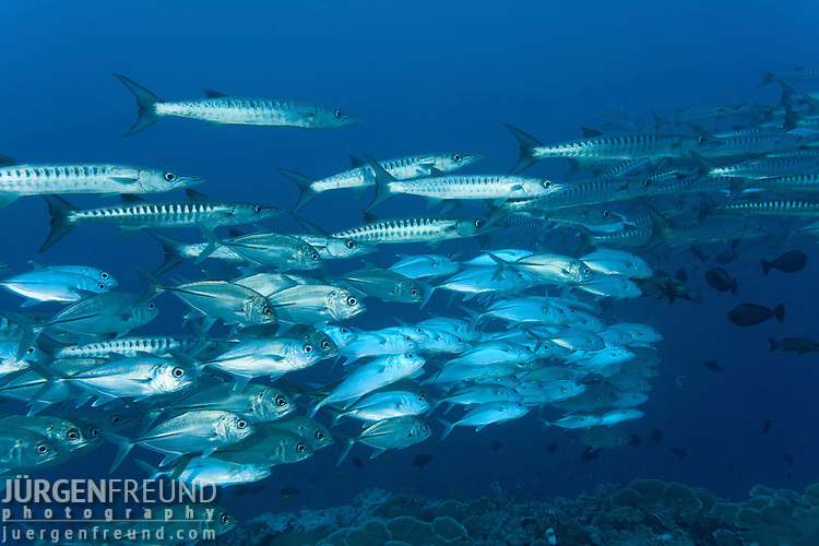 Schooling Chevron barracuda (Sphyraena qenie) and bigeye trevallies (Caranx sexfasciatus) mixing