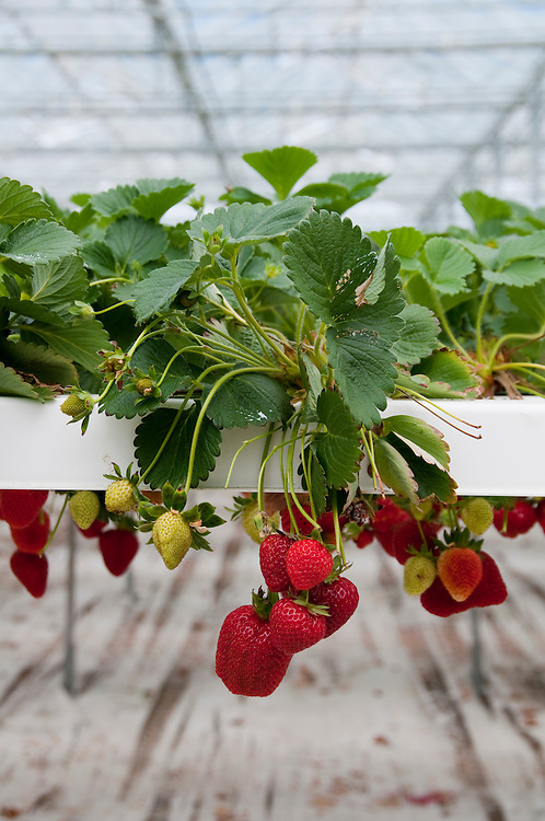 New Zealand, South Island, Marlborough, hydroponic strawberry production at Hedgerow Hydroponics. Photo #126372