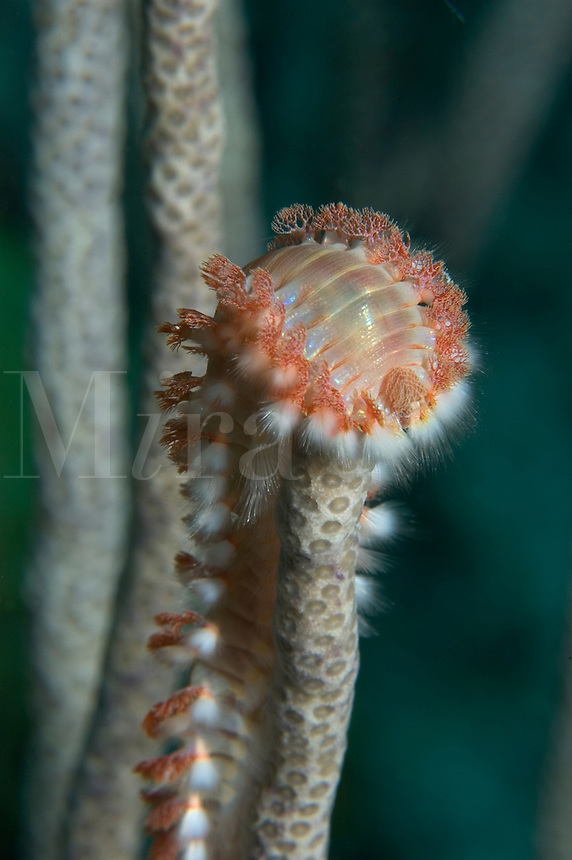 Bearded Fireworm (Hermodice carunculata) on gorgonian in Little Cayman, Cayman Islands.