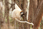Verreaux's sifaka, Propithecus verreauxi, Berenty National Park, Madagascar,  Classified as Vulnerable (VU) on the IUCN Red List, and listed on Appendix I of CITES, feeding in tree, long tail