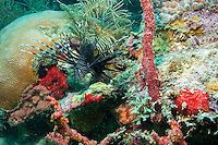 Invasive Lionfish on the reef<br /> U.S. Virgin Islands