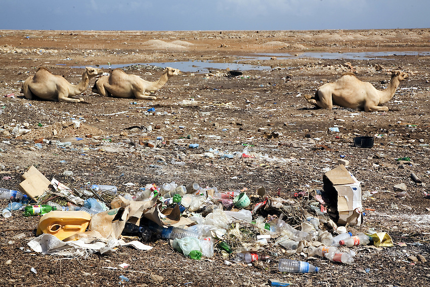 Somaliland. Sahil province. Berbera. Three camels rest on the ground near an open air landfill. Plastic, waste, metal cans, carboard, plastic bottles and various rubbish are left in a public garbage heap. Somaliland is an unrecognized de facto sovereign state located in the Horn of Africa. © 2006 Didier Ruef