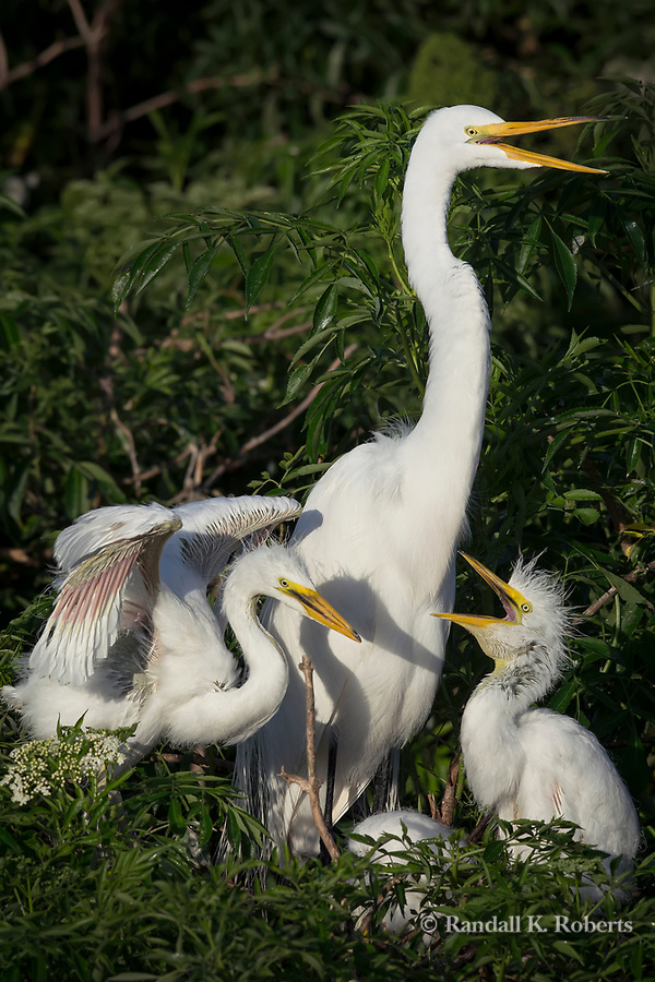 Nesting Great Egret, Osceola County, Florida