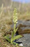 Pseudorchis straminea - Varanger, Norway