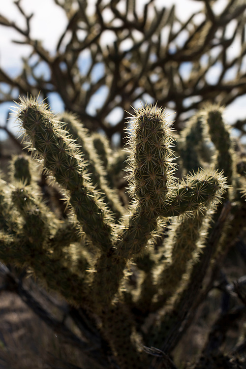 Cholla Cactus Hole in the Wall and the Rings Loop Trail near Hole in the Wall campground in the Mojave National Preserve, near Essex, California March 18, 2017. (Gerard Burkhart Photo)