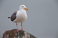 Western Gull (Larus occidentalis wymani), adult in breeding plumage near Morro Rock in Morro Bay, California.