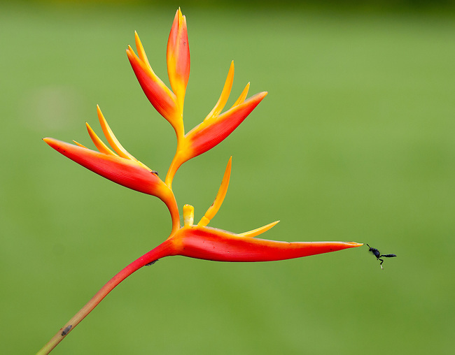 Wasp hovering near a Heliconia flower.