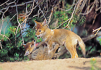 Wild Coyote pups play near densite.  Western U.S., June.