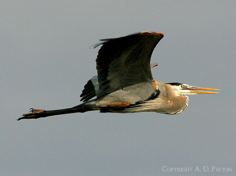 Adult great blue heron flying