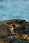 American Oystercatcher,(Haematopus palliatus),Pacheca Island,Las Perlas Archipelago,Panama,C.A.