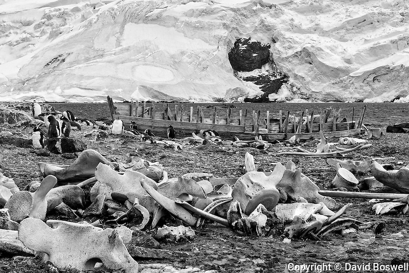 Gentoo Penguins live and breed among the remains of the early 20th century whaling industry in Mikkelsen Harbor on Trinity Island, just off the coast of the Antarctic Peninsula.