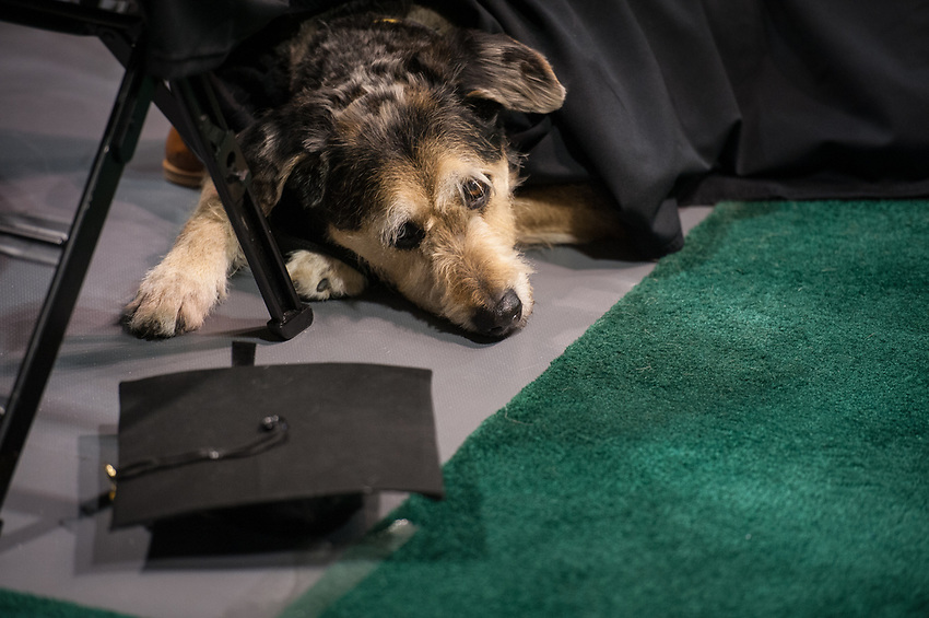 Service dog at UAA's 2017 Fall Commencement.