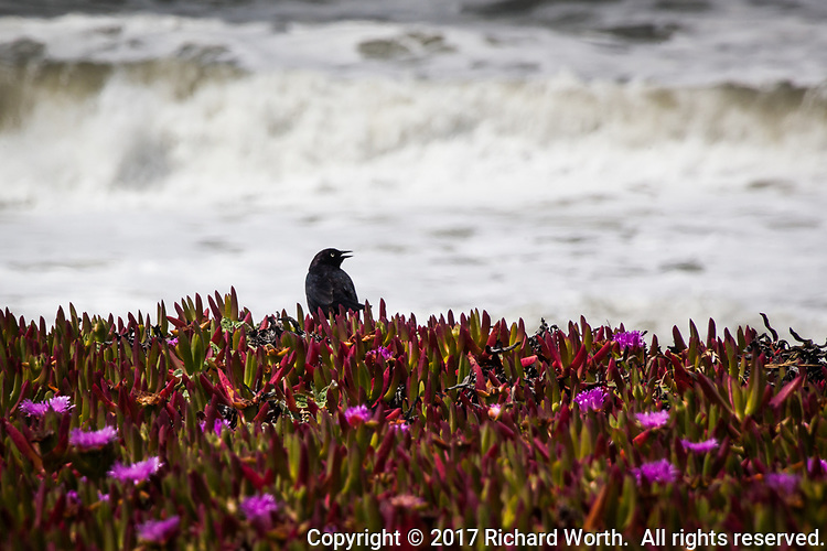 With frothy waves in the background, a blackbird, likely a Brewer's blackbird, its mouth open, stands among the ubiquitous and invasive ice plant at a state park along California's coast.