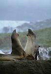 Southern elephant seals, South Georgia Island