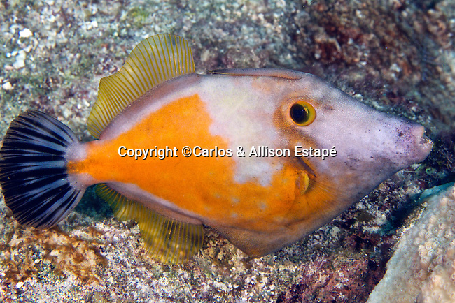 Cantherhines macrocerus, Whitespotted filefish, Florida Keys