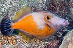Cantherhines macrocerus, Whitespotted filefish, Florida Keys