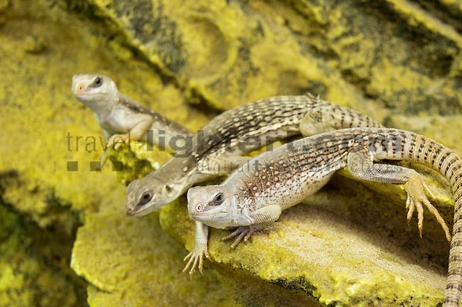 Wüstenleguan, Dipsosaurus dorsalis, Common Desert Iguana, Leguane, Iguanidae, Iguana, Reptilienausstellung, Vaduz, Liechtenstein