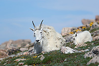 Rocky Mountain Goats, Nanny and Kid