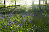 Hyacinthoides non-scripta (formerly Endymion non-scriptus or Scilla non-scripta) is a bulbous perennial plant, found in Atlantic areas from north-western Spain to the British Isles, and also frequently used as a garden plant. It is known in English as the common bluebell or simply bluebell, a name which is used in Scotland to refer to the harebell, Campanula rotundifolia. In spring, H. non-scripta produces a nodding, one-sided inflorescence of 5&ndash;12 tubular, sweet-scented violet&ndash;blue flowers, with strongly recurved tepals, and 3&ndash;6 long, linear, basal leaves.<br /> <br /> Bluebells are particularly associated with ancient woodland where it may dominate the understorey to produce carpets of violet&ndash;blue flowers in &quot;bluebell woods&quot;, but also occurs in more open habitats in western regions. It is protected under UK law, and in some other parts of its range.<br /> <br /> Stock Photo by Paddy Bergin