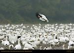 Snow Goose Landing, Reifel Migratory Bird Sanctuary, British Columbia, Canada
