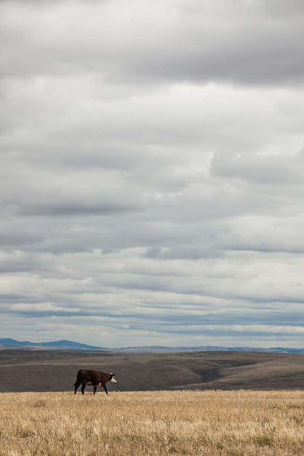 A single cow is seen walking on the straw under a cloudy sky in Wheeler County, Oregon.