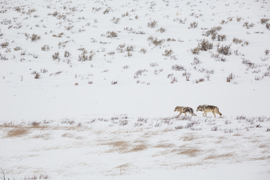 Two gray wolves walk in a single file line in the snow near the Blacktail Lakes area of Yellowstone National Park.