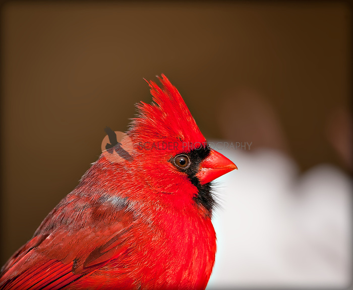 Male Northern Cardinal Portrait