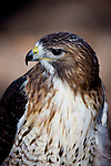 A red tailed hawk looks into the sky.