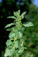 SMALL NETTLE Urtica urens (Urticacae) Height to 50cm<br /> Similar to Common Nettle but smaller and annual. FLOWERS are pendulous catkins, male and female on same plant (Jun-Sep). FRUITS are superficially similar to female flowers. LEAVES are oval, pointed-tipped and toothed; up to 4cm long, lower leaves shorter than their stalks. STATUS-Widespread and locally common on disturbed ground.