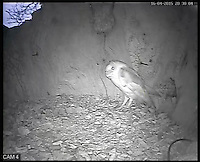BNPS.co.uk (01202 558833)<br /> Pic: RobertFuller/BNPS<br /> <br /> The barn owl checks if the coast is clear.<br /> <br /> Brawling birds in nest ding dong...<br /> <br /> The gloves were off and the feathers were flying as these two birds of prey went wing-to-wing over a nesting box.<br /> <br /> This incredible footage shows a kestrel and a barn owl fighting it out for the prime spot to lay their eggs.<br /> <br /> The pair circle their boxing ring, staring each other down before attacking with talons and beaks in the hour-long stand-off.<br /> <br /> The bird brawl was captured by wildlife photographer Robert Fuller on a nestcam he had set up inside a 13ft-high old elm tree stump.