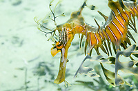leafy Seadragon, Phycodurus eques, A seadragon with a parasitic Isopod on its face, Wool Bay, South Australia, Australia, Southern Ocean